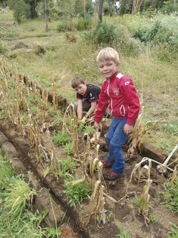 récolte de l'ail Chiloé Ancud