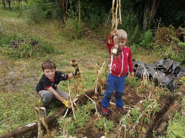 récolte de l'ail Ancud Chiloé